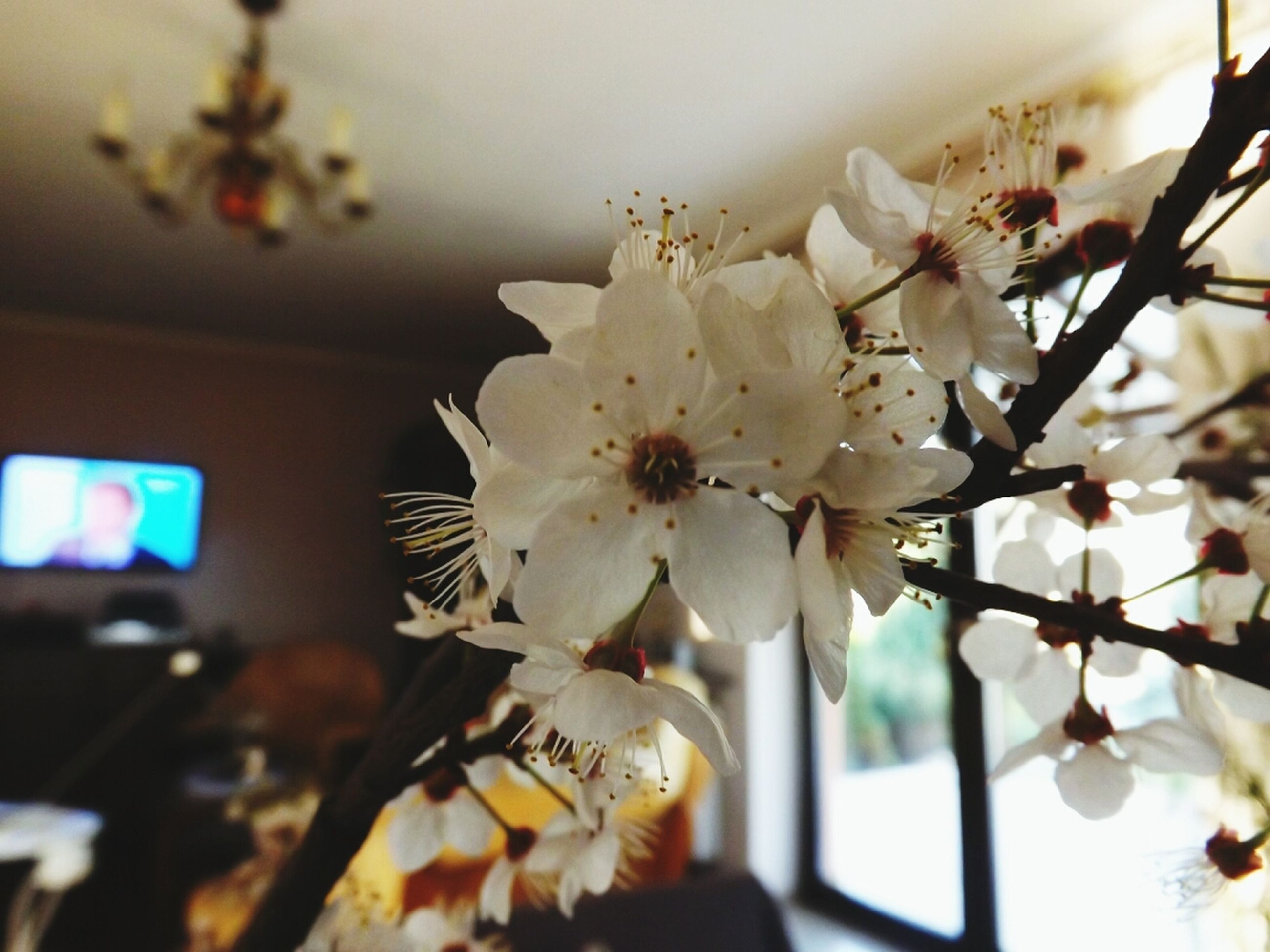 flower, fragility, freshness, petal, focus on foreground, white color, close-up, growth, flower head, blooming, nature, beauty in nature, blossom, indoors, branch, in bloom, selective focus, cherry blossom, low angle view, day