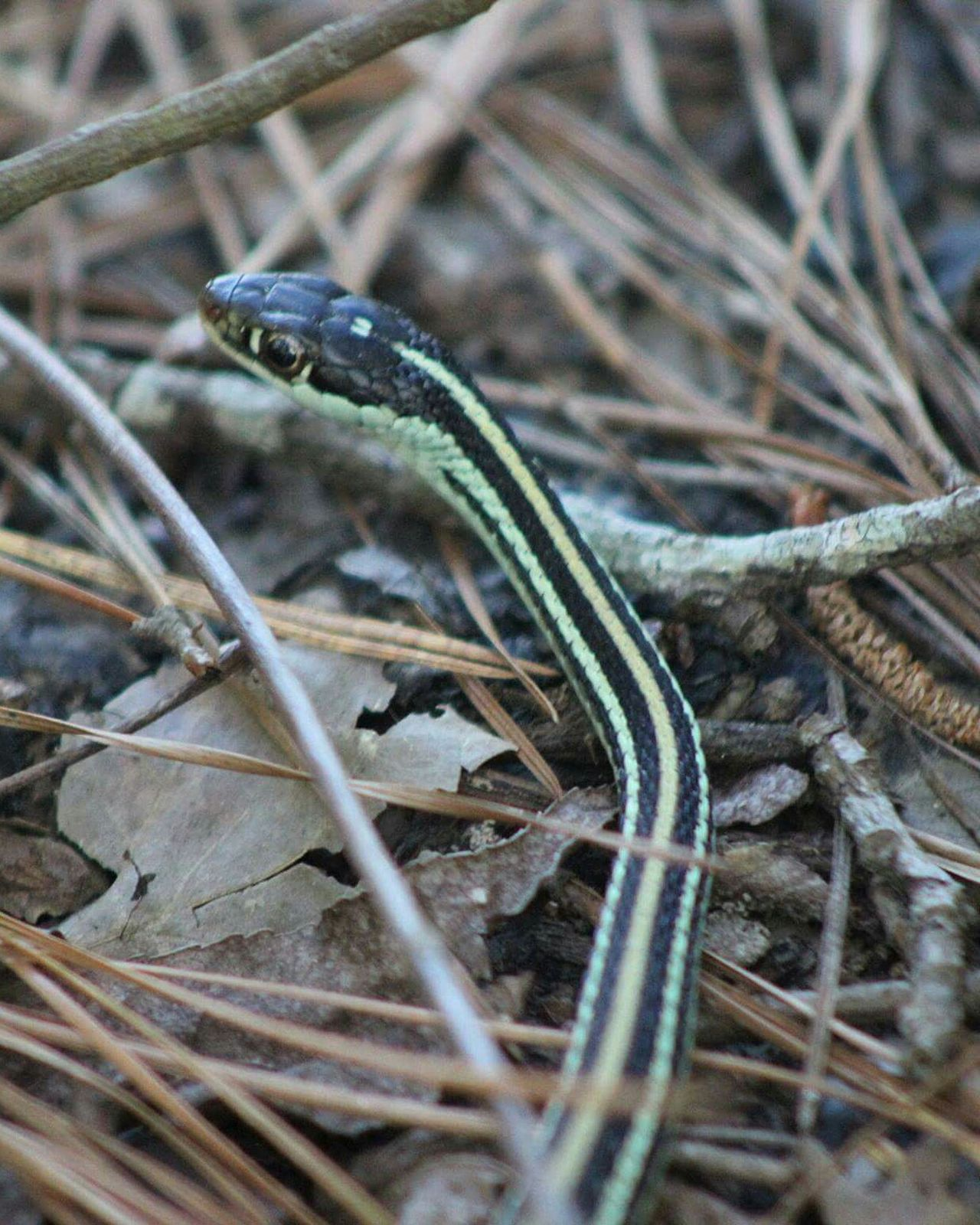 An Eastern ribbon snake, shy little guy. Just wanted to get away. One Animal Animal Themes Animals In The Wild Reptile Animal Wildlife Nature Focus On Foreground No People Outdoors Close-up Day Eyemphotos Naturelovers Eye Em Nature Lover Popular Photos Eastern Ribbon Snake Naturephotography Colorful Snakes Parks & Ponds Texas Parks