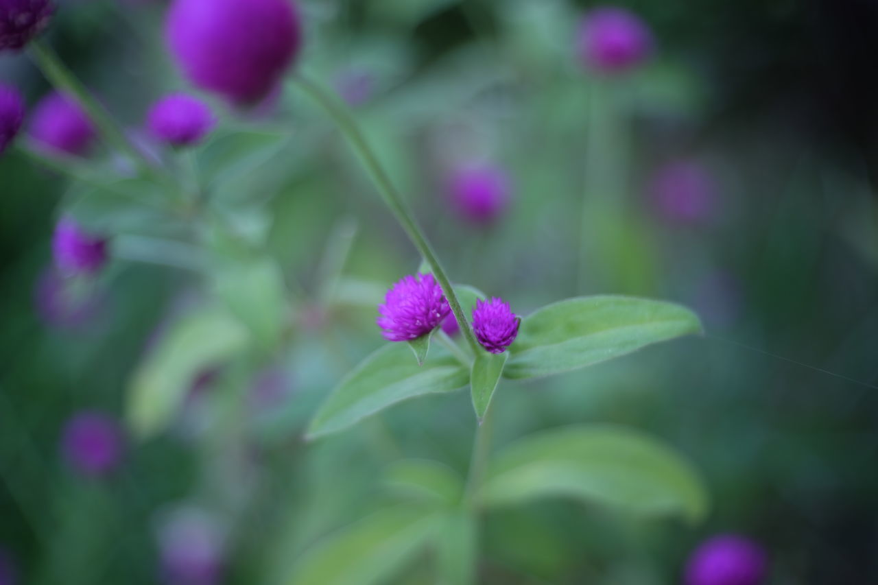 growth, purple, flower, fragility, green color, nature, plant, beauty in nature, petal, outdoors, focus on foreground, pink color, day, no people, freshness, close-up, blooming, flower head