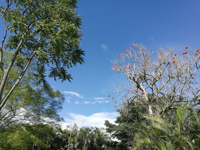 Tree Growth Blue Sky Beauty In Nature Branch Scenics Tranquility Nature Tranquil Scene Green Color Plant Day Flower Outdoors Green High Section Non-urban Scene Low Angle View Tree_collection  Treetastic Tree Branches Green Color Tree Trunk
