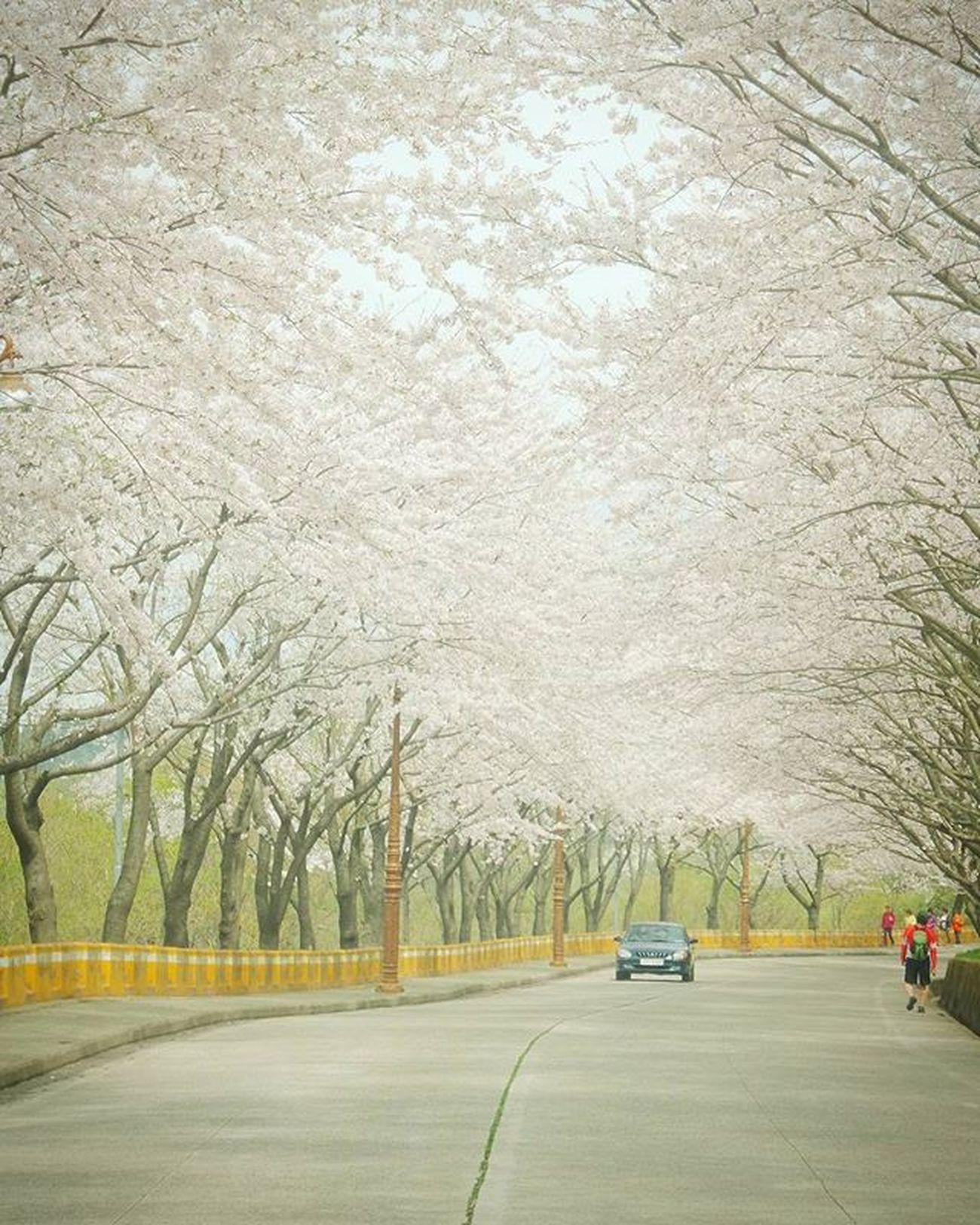 황령산벚꽃길 차있을때 . . .Photography Photographer 부산 Busan Spring Flower 일상 데일리 감성 감성사진 사진 여행 일상공유 Sotong 미러리스카메라 Follow Followme Photo Travel Daily Southkorea