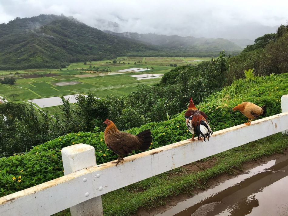 Three on a Fence. Chickens Green Color Beauty In Nature Kauai Hawaii View Iphonephotography IPhoneography IPhone Hanalei Cloudy Reflections