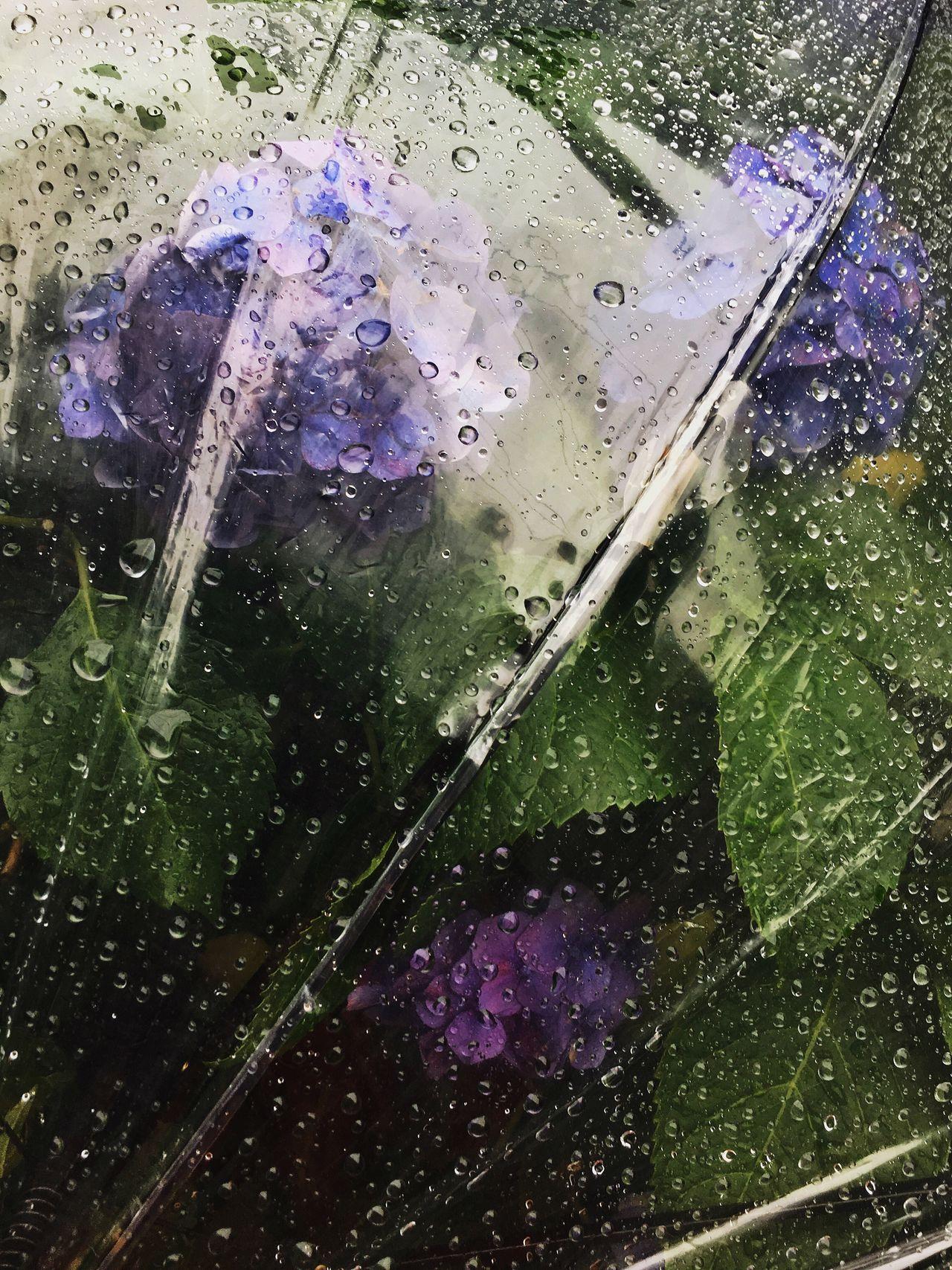 Hydrangea Water Wet Purple Drop Umbrella Drops Flower Rain