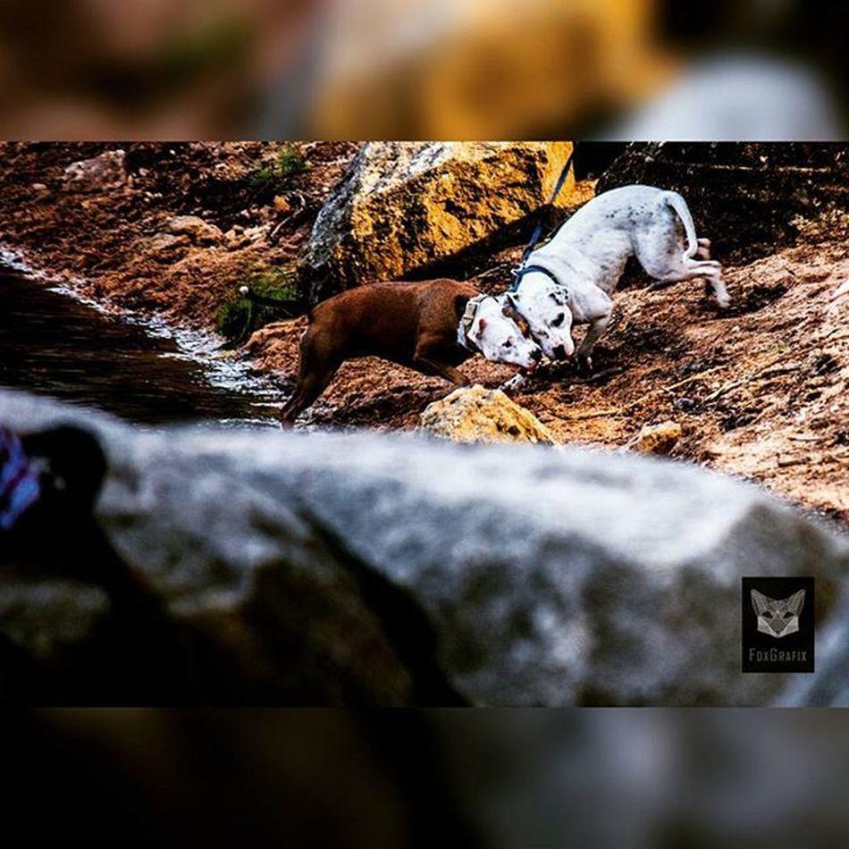 No! That is mine!!! Oderteich Fotografie Animalfotography Tierfotografie Stick Dogsplaying Pitbull Pitbulls Harz Woodenstick Hunde Spielendehunde
