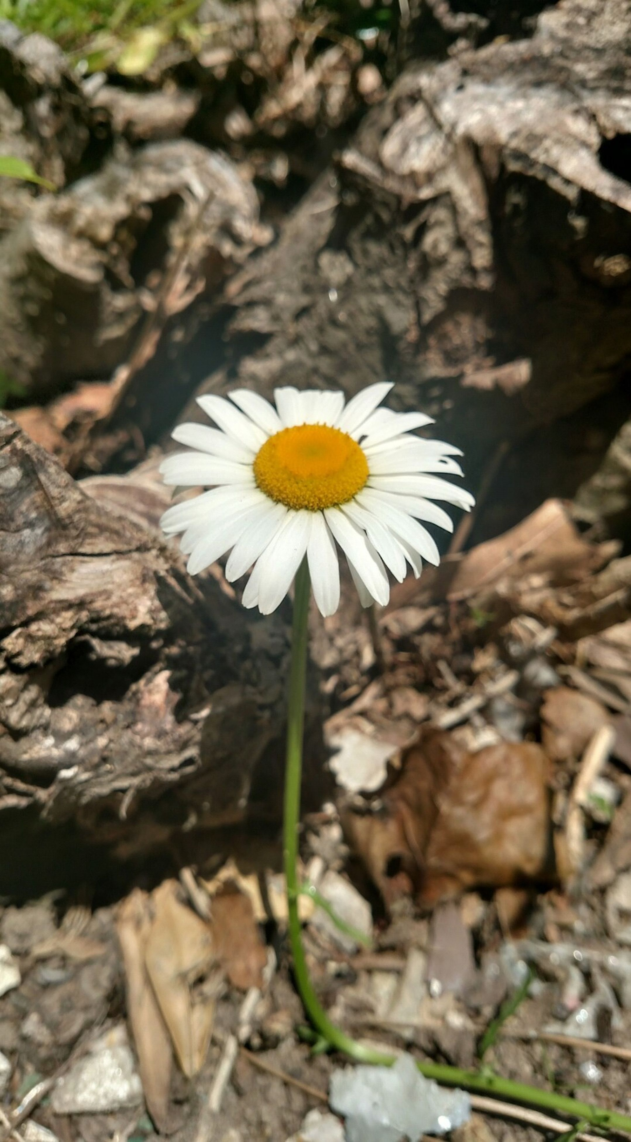 flower, fragility, flower head, petal, freshness, growth, single flower, close-up, nature, beauty in nature, white color, blooming, focus on foreground, plant, pollen, field, daisy, yellow, high angle view, uncultivated