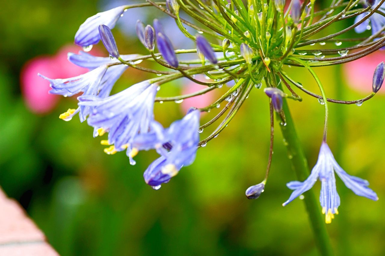 Flower Purple Freshness Fragility Flower Head Leiblingsteil Bokehlicious Agapanthus Lily Of The Nile Drops Of Water Koduckgirl