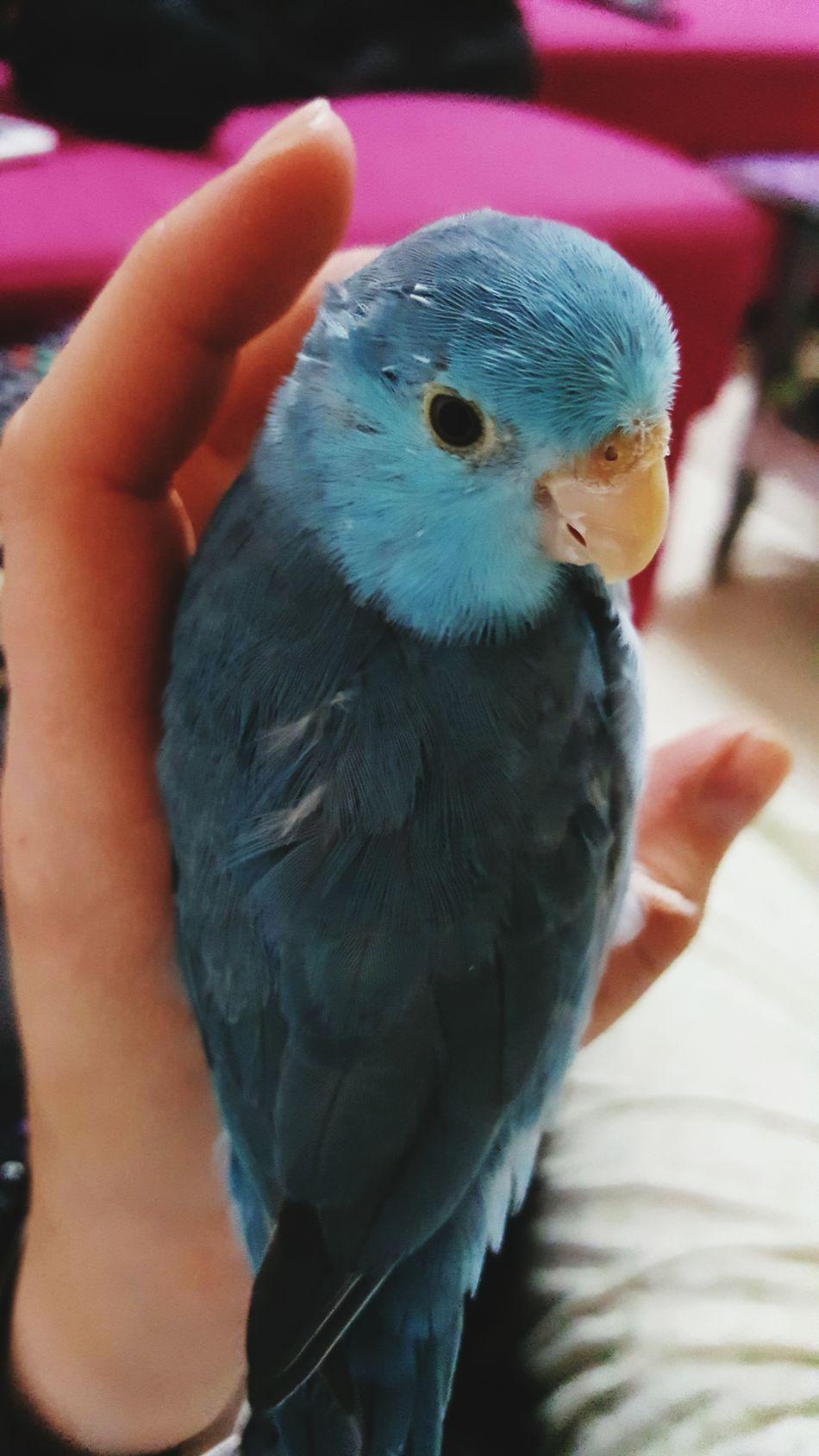 Parrotlet Parrot Love MyLove❤ Mydevil