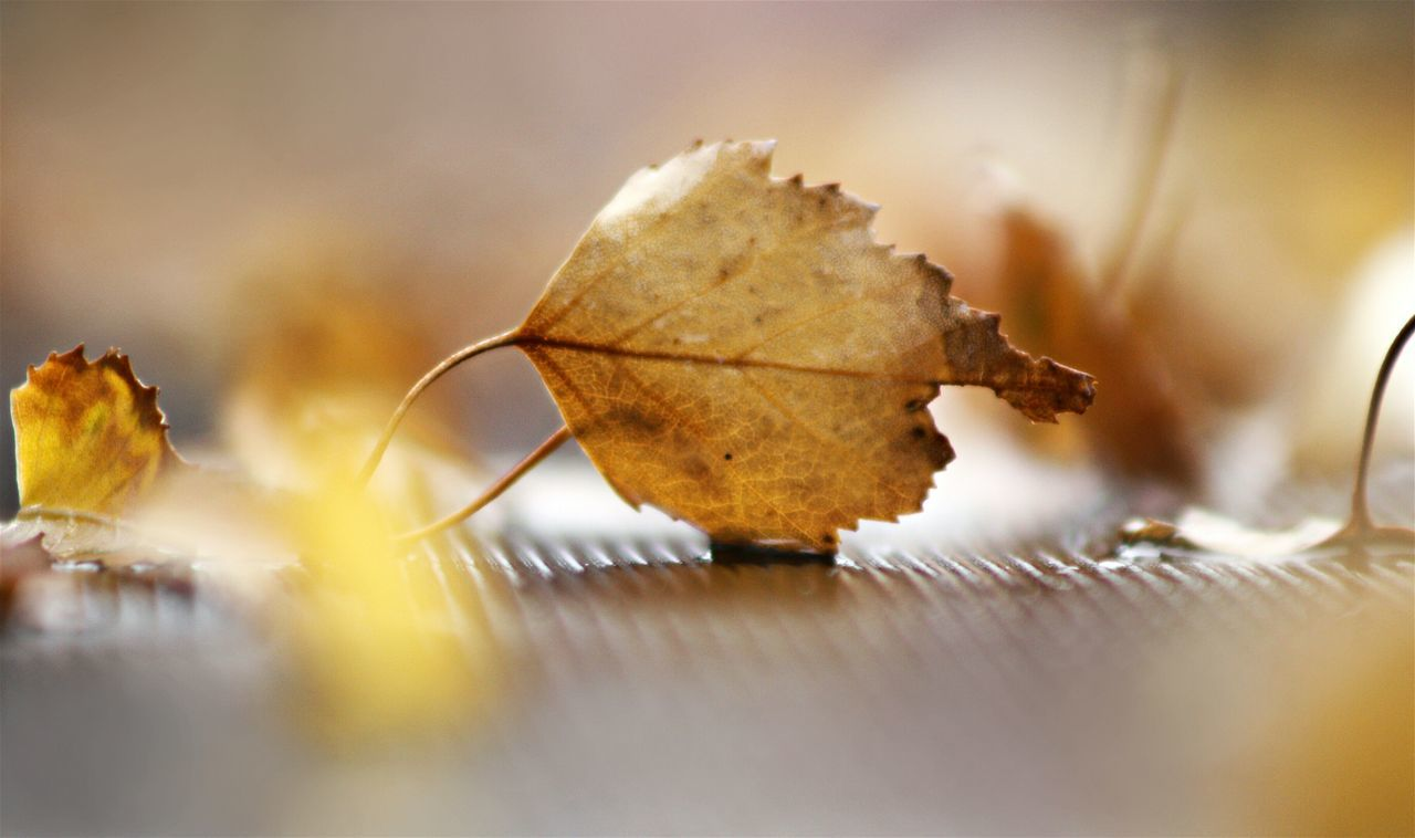 leaf, selective focus, close-up, autumn, dry, change, no people, nature, fragility, day, outdoors, maple, beauty in nature