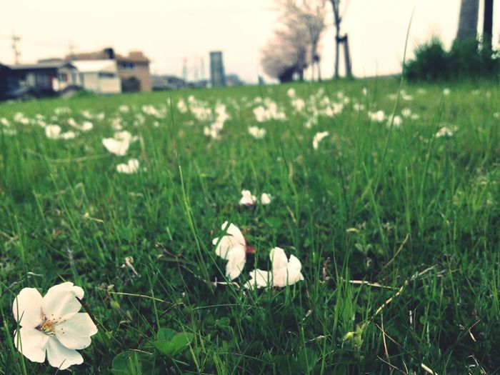 Sakura2013 Cold Spring