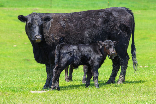 Cow and calf Agriculture Black Black Angus Calf Canon60d Canonphotography Cattle Cow Farm Grass Green Livestock Pasture
