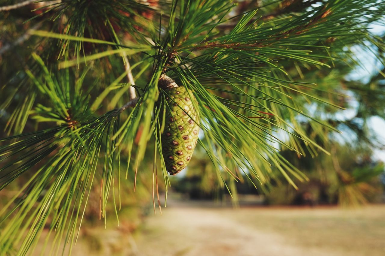 It's green but it will get brown. Growth Nature Focus On Foreground Green Color No People Day Pine Tree Outdoors Tree Close-up Beauty In Nature Freshness