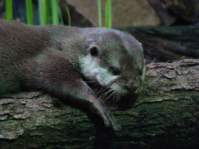 Beauty In Nature Close-up Otter Otters Wildlife & Nature Wildlife Photography Zoo Zoology