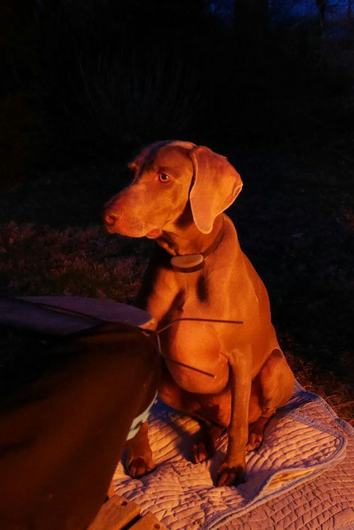 Our funny dog Phantom, out by the fire eating marshmallows. He doesn't like to sit on grass do he asked for a blanket. Camping Fun Firepits Camping Fire Dark And Fire Flamed Hot Outdoors Weimaraner Weimaranerlove Weimaraners Eyeemdogs Eyeemdog