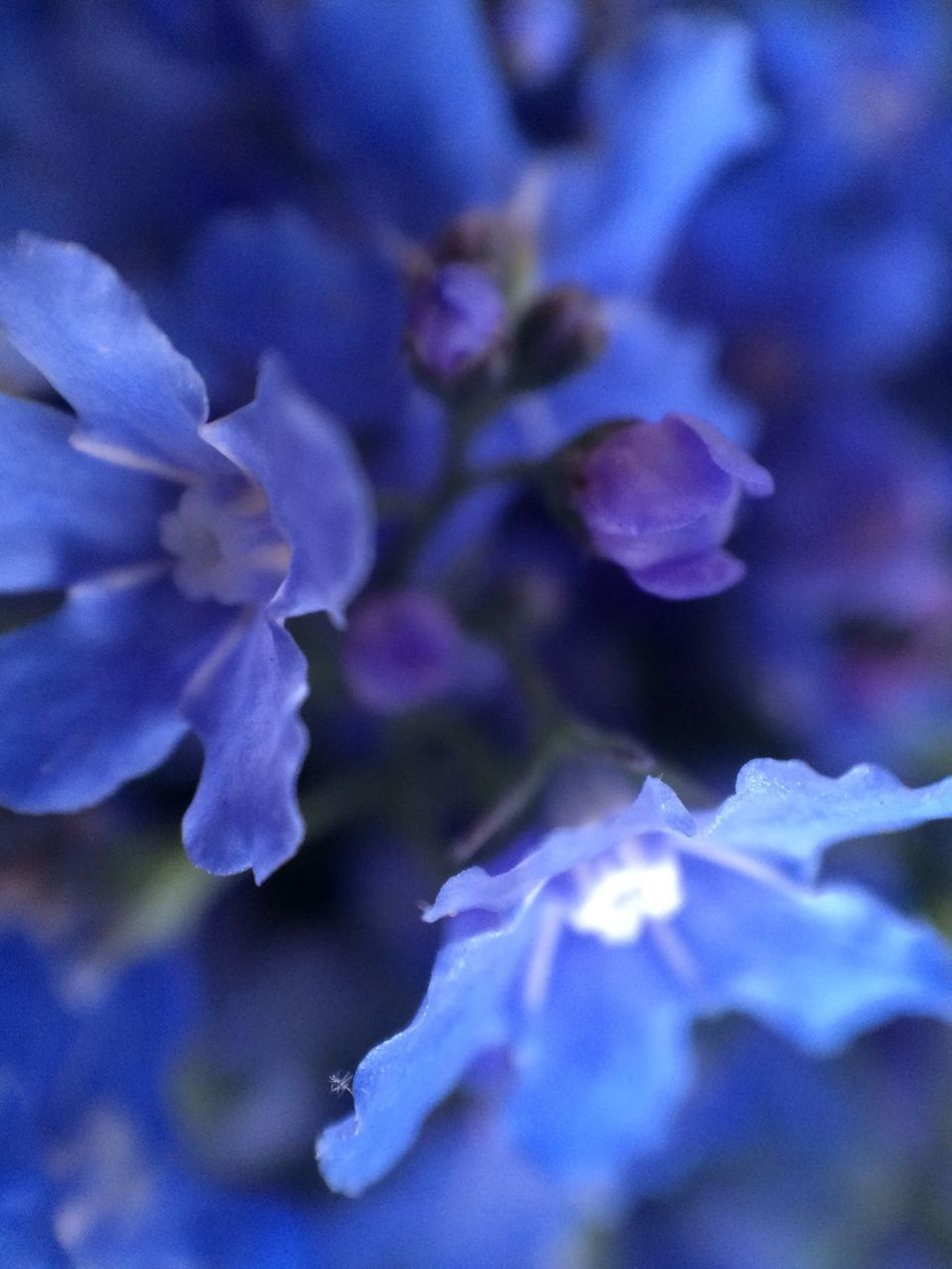 The Purist (no Edit, No Filter) Myosotis Selective Focus Fragility Blooming Heart Sweet Feelings Tenderness Bliss Macro Remember Dreaming Nostalgic  Emotion Kindness Softness Gentle Precious Shades Of Blue Forget Me Not Forget-me-not Blue Wave Cute Deep