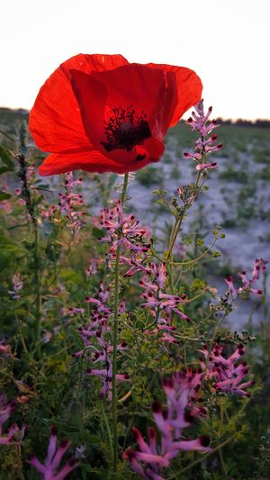 It's the Poppy Season !!! Beauty In Nature Blooming Blossom Botany Close-up Day Flower Flower Head Focus On Foreground Fragility Freshness Growth In Bloom Nature No People Outdoors Petal Pink Color Plant Pollen Poppy Season Red Sky Stem Tranquility