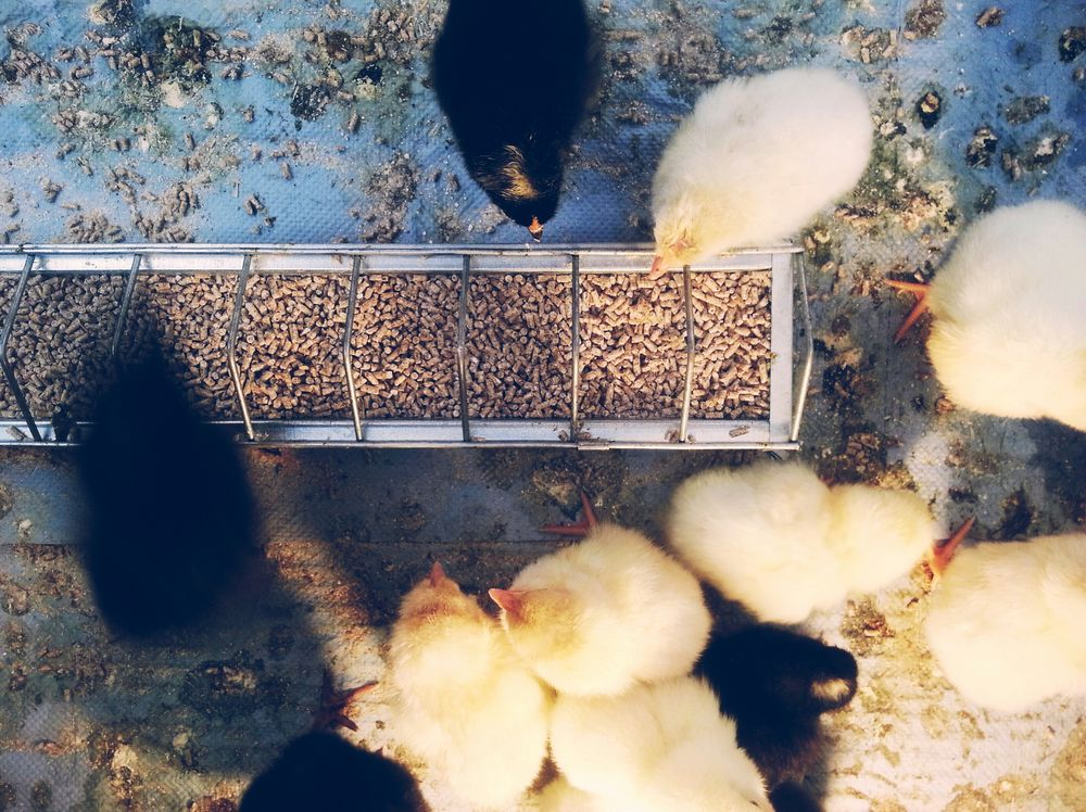Growing Better Beauty In Ordinary Things Snapshots Of Life Small And Swift EyeEm Animal Lover Pets Corner Chicken Exploring Brandenburg RePicture Growth The Moment - 2015 EyeEm Awards My Best Photo 2015 Welcome To Black