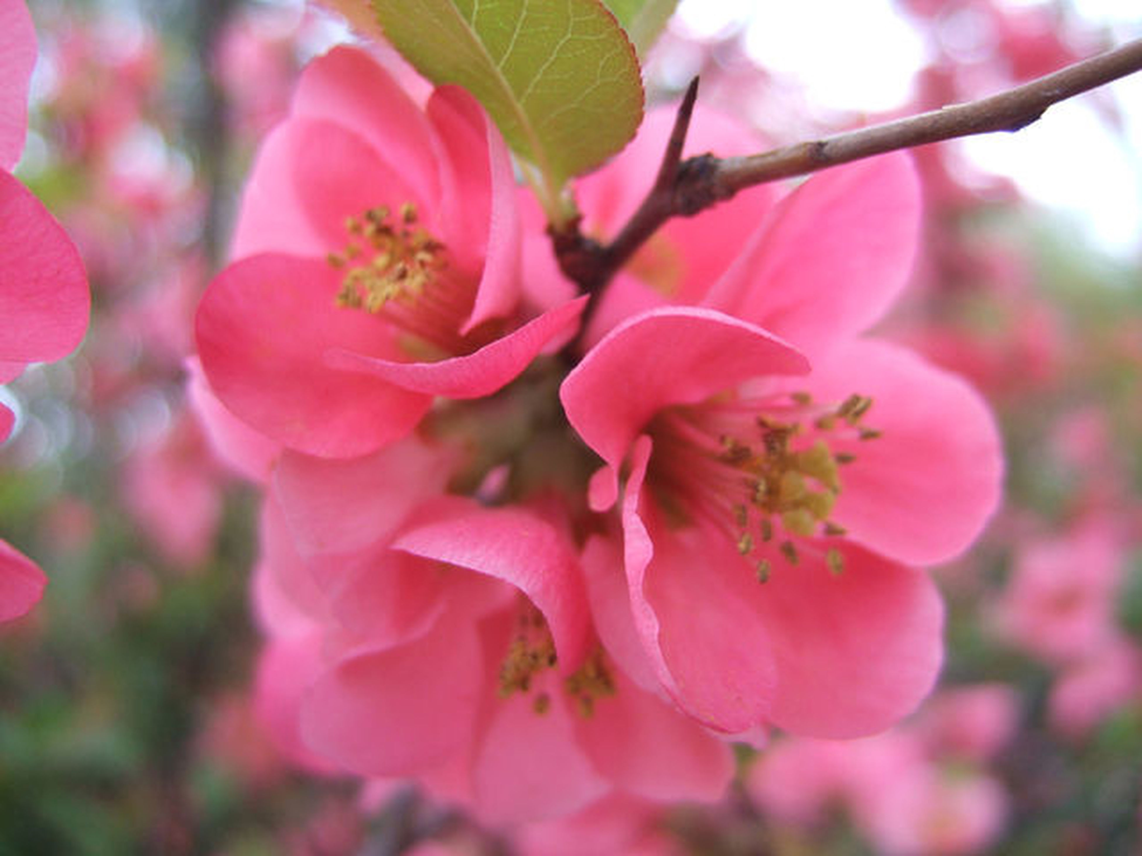flower, freshness, pink color, growth, focus on foreground, fragility, beauty in nature, branch, close-up, petal, nature, tree, blossom, twig, blooming, in bloom, day, flower head, pink, outdoors