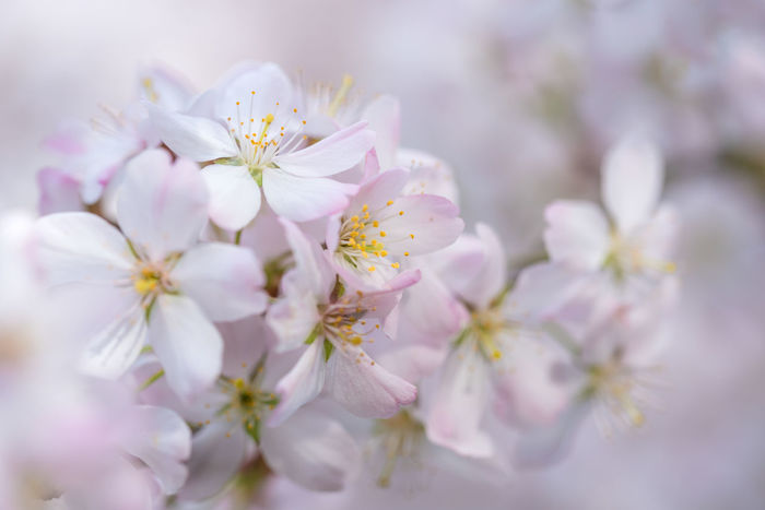 Beauty Blossom Flower Plant Nature Beauty In Nature Freshness Flower Head Macro Macro Photography Cherry Blossoms Kirschblüte Outdoors Flower Macro