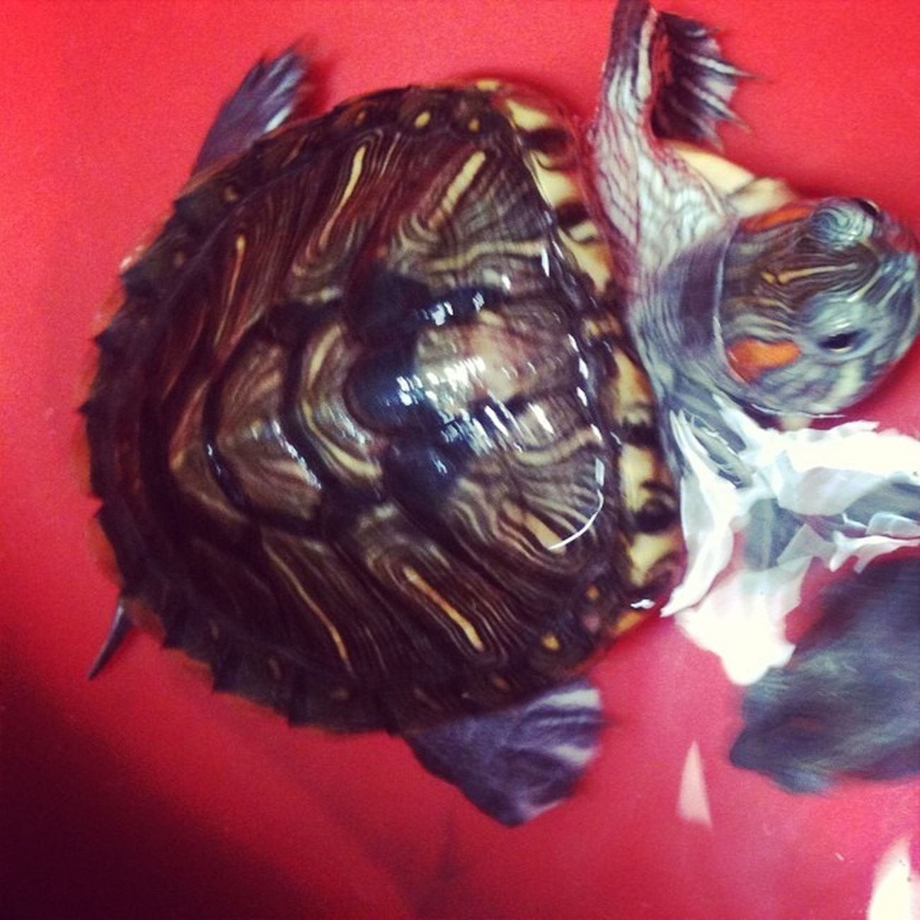 Meet shara my girl turtle... Shara TurtleLove