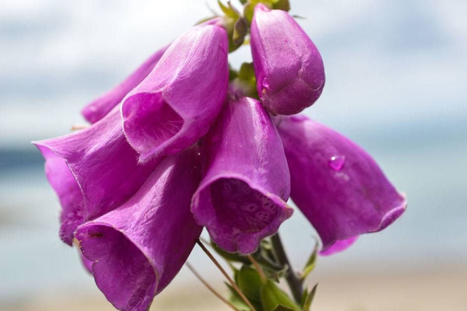 Beauty In Nature Close-up Day Digitalis Digitalis Purpurea Flower Flower Head Focus On Foreground Foxglove Fragility Freshness Growth Nature No People Outdoors Petal Plant Purple Sky Water