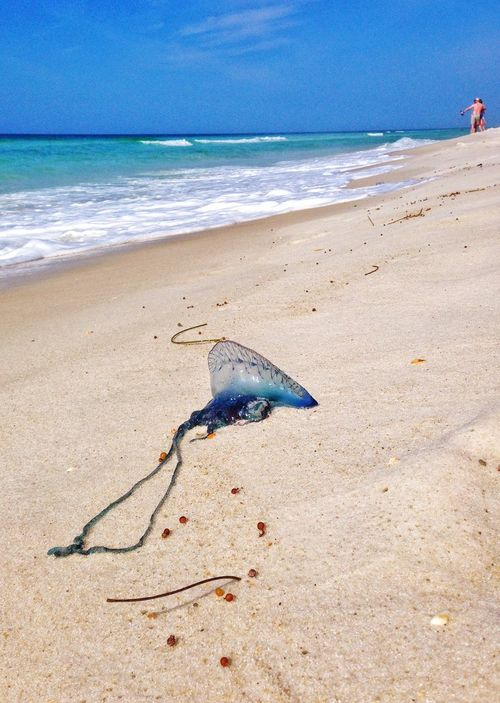 Jellyfish washed up onto the beach Jellyfish Portuguese Man Of War Beach Sand Waves Panama City Beach Florida Travel