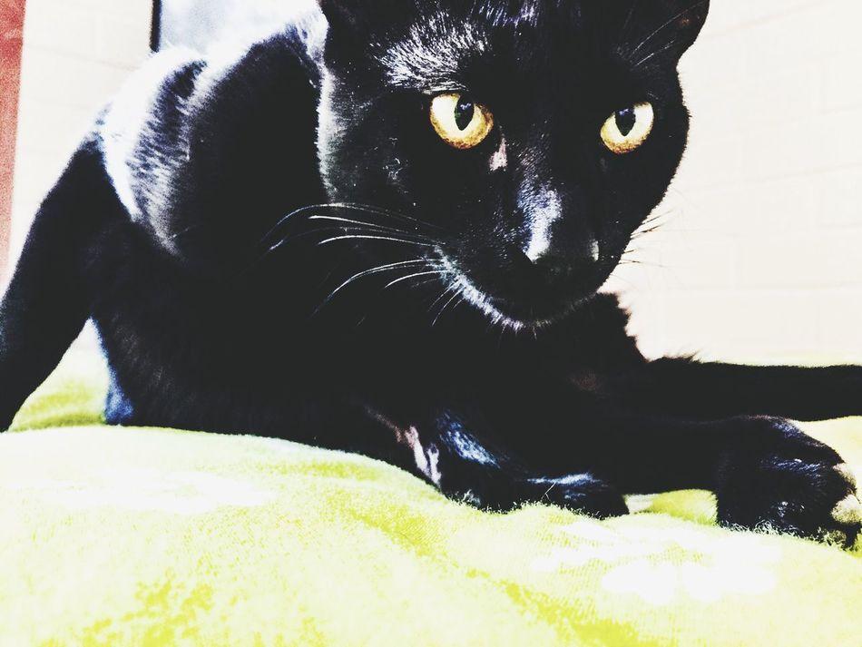 Phanter Cat Black BLackCat Domestic Cat Domestic Animals One Animal Pets Animal Themes Black Color Yellow Eyes Feline Looking At Camera No People Portrait