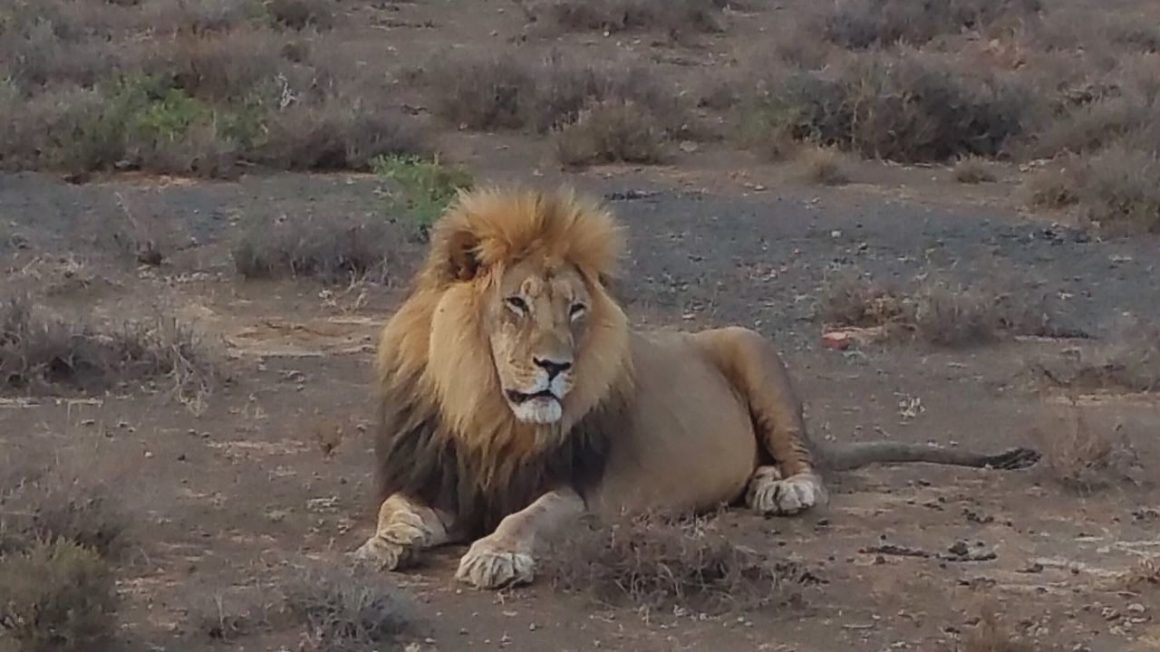 South Africa. Lion Safari Safari Park Safari Animals Lioness Savannah South Africa South African Photography Addo National Park Animal Photography
