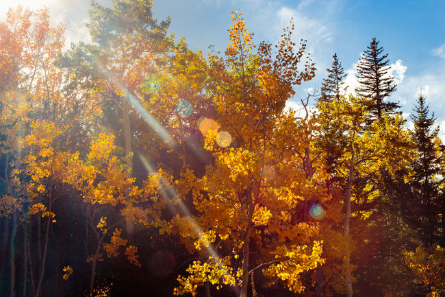 Aspen Trees Autumn Colors Colorado Day Fall Colors Golden Gate Canyon State Park Lens Flare Nature No People Outdoors Season  September Sunbeam Sunlight The Great Outdoors - 2016 EyeEm Awards Tree Yellow