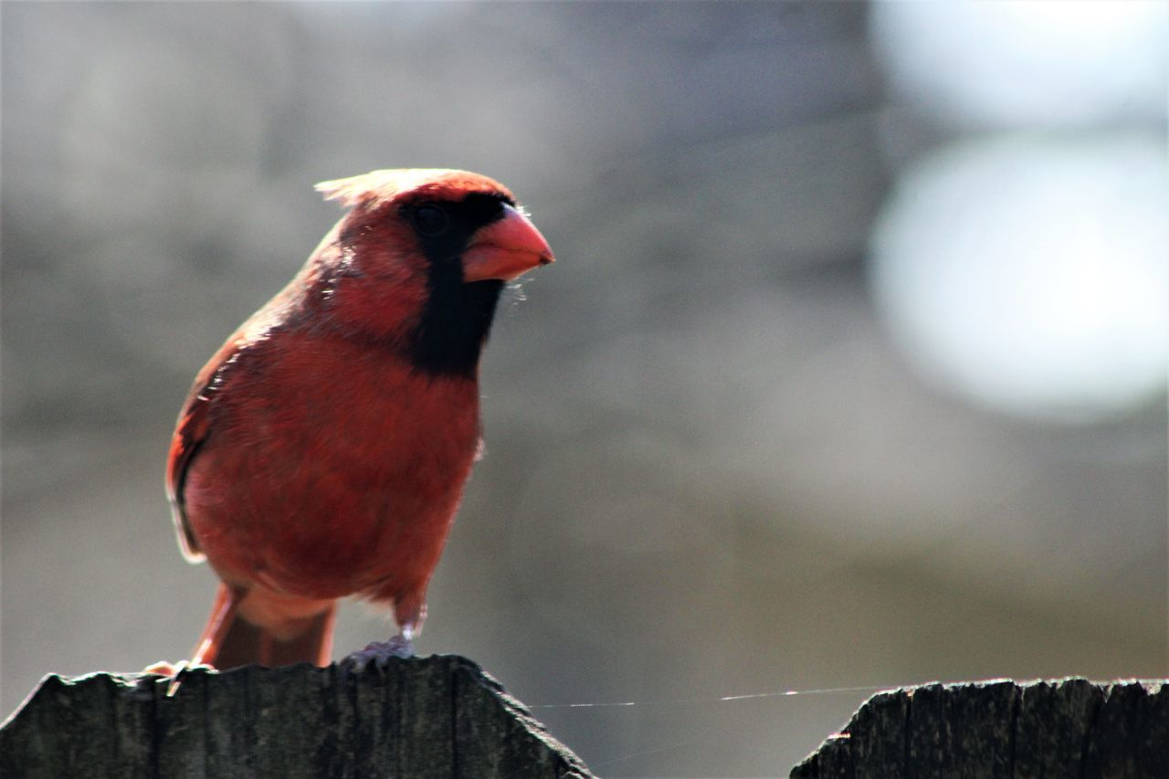 Animal Themes Animal Wildlife Animals In The Wild Bird Close-up Day Focus On Foreground Nature No People One Animal Outdoors Perching Red Redbird Manual Focus Canonphotography Things In My Back Yard Fences Wood - Material