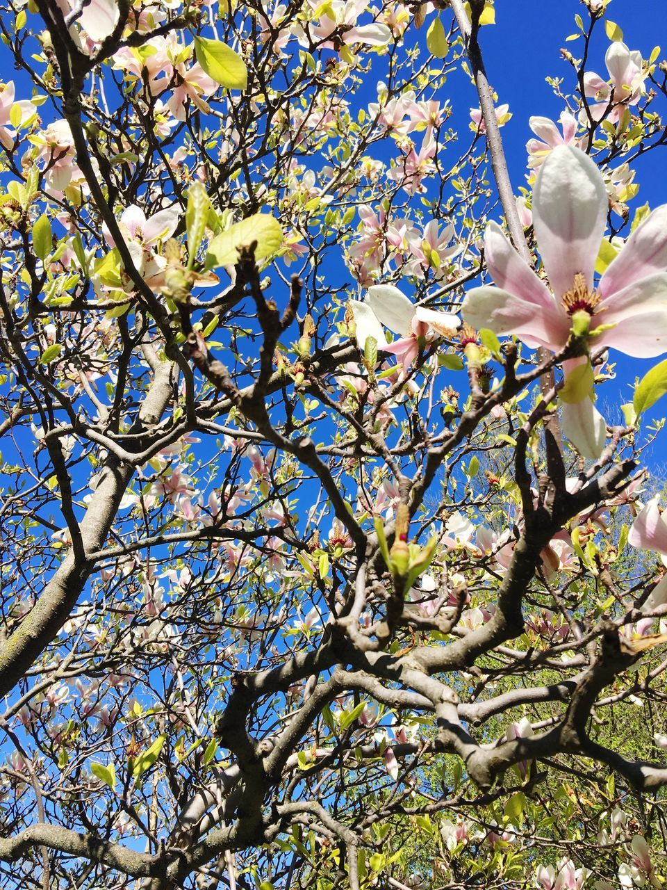 flower, tree, growth, branch, beauty in nature, nature, fragility, petal, blossom, freshness, magnolia, springtime, no people, day, botany, low angle view, twig, outdoors, flower head, blooming, close-up