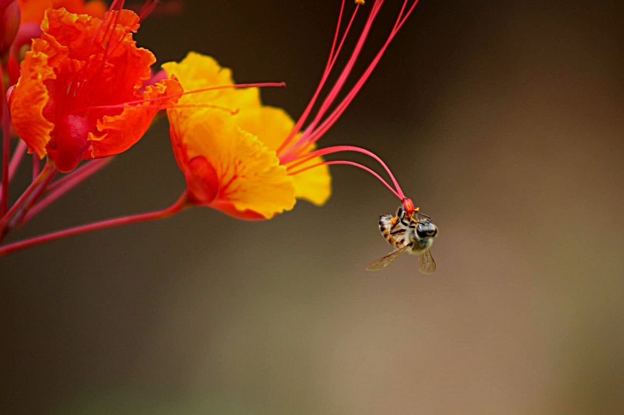 Close-Up Of Bee Pollinating On Gulmohar