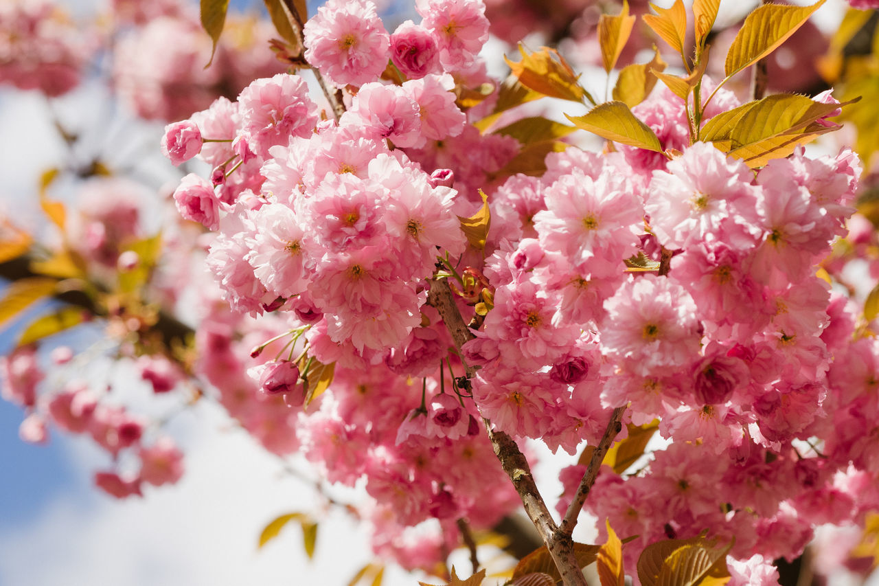 A bunch of japanese cherry blossoms in direct sunlight Beauty In Nature Blossom Branch Close-up Day Flower Flower Head Fragility Freshness Growth Nature No People Outdoors Petal Pink Color Springtime Tree