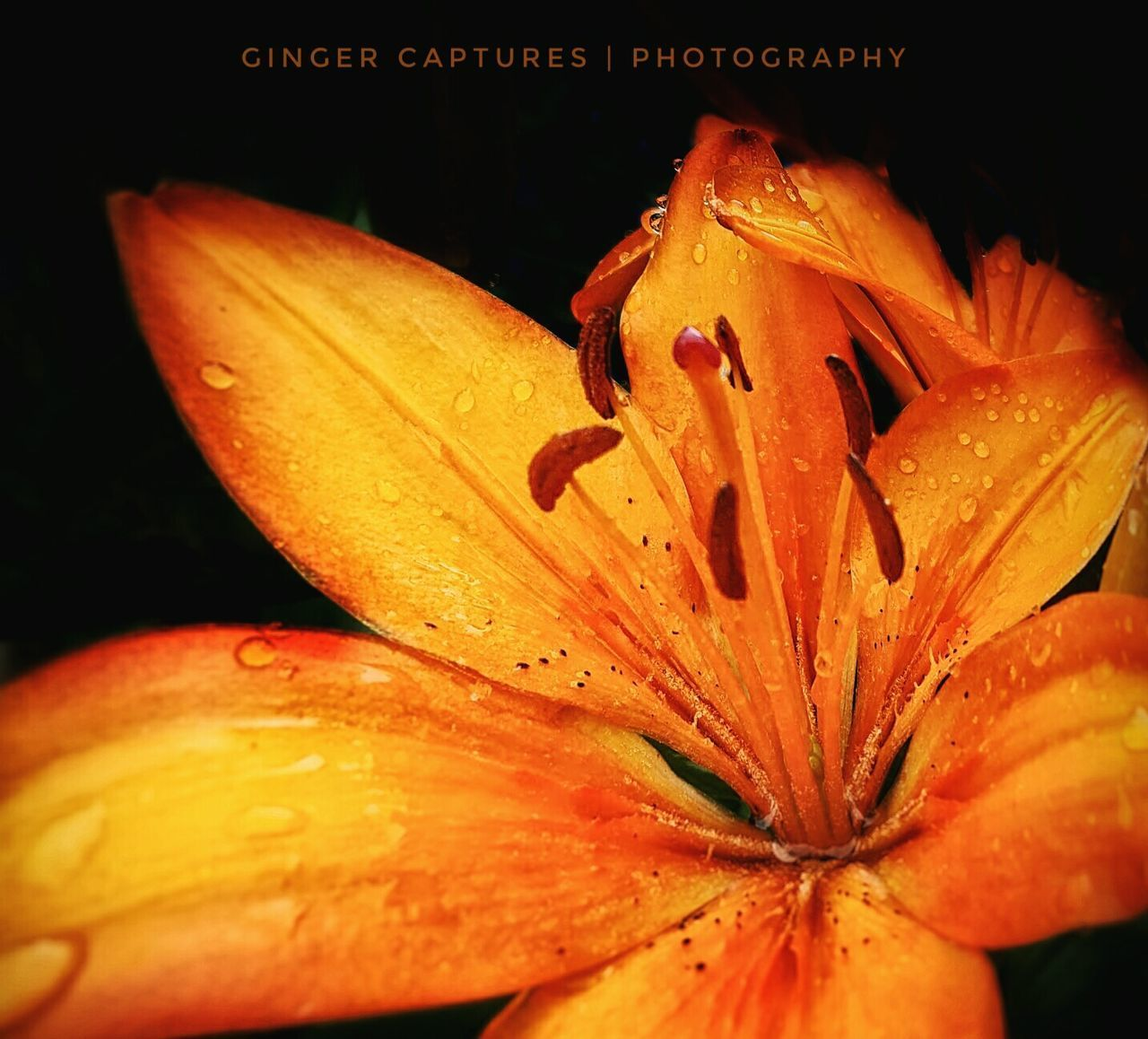 Golden Lilly - Petal Flower Nature Fragility Orange Color Flower Head Beauty In Nature Close-up Outdoors Eyeemphotography Macrophotography Macro_captures Macro Beauty Macro_collection Macro Photography Macro Macroporn MyPhotography Dark Photography EyeEm Best Shots Nature_collection Black Background Nature Photography Moodygram Beautiful Nature
