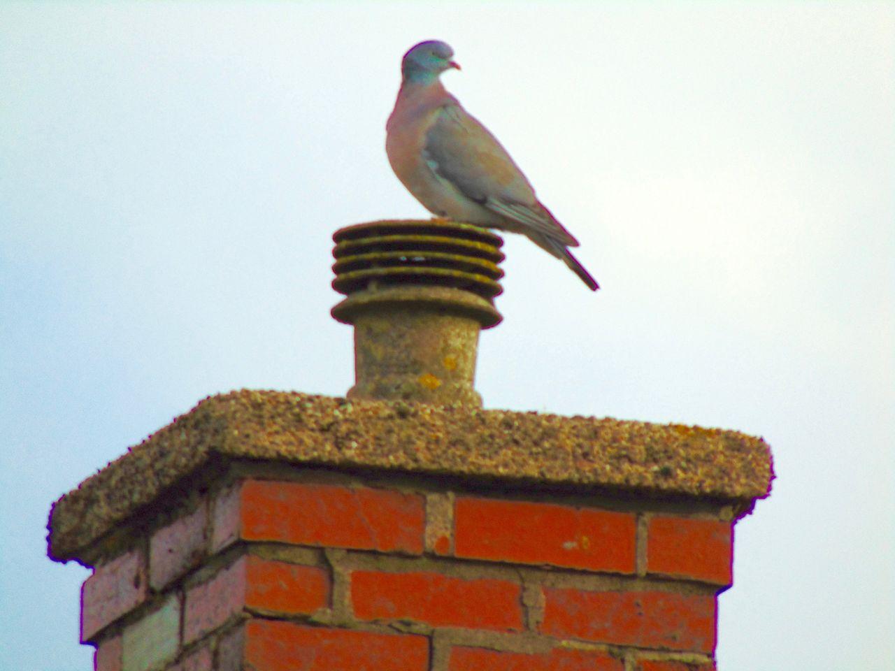 Bird Bird Photography Chimney Chimney Tops Close Up Close-up Dusk Dusk Sky Outdoors Sky Wildlife Wood Pigeon
