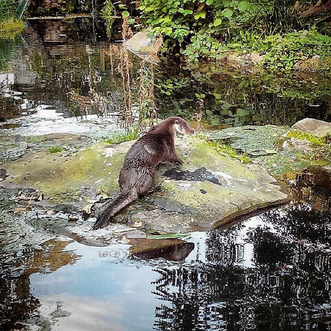 Fischotter KrefelderZoo oder Zoo Krefeld