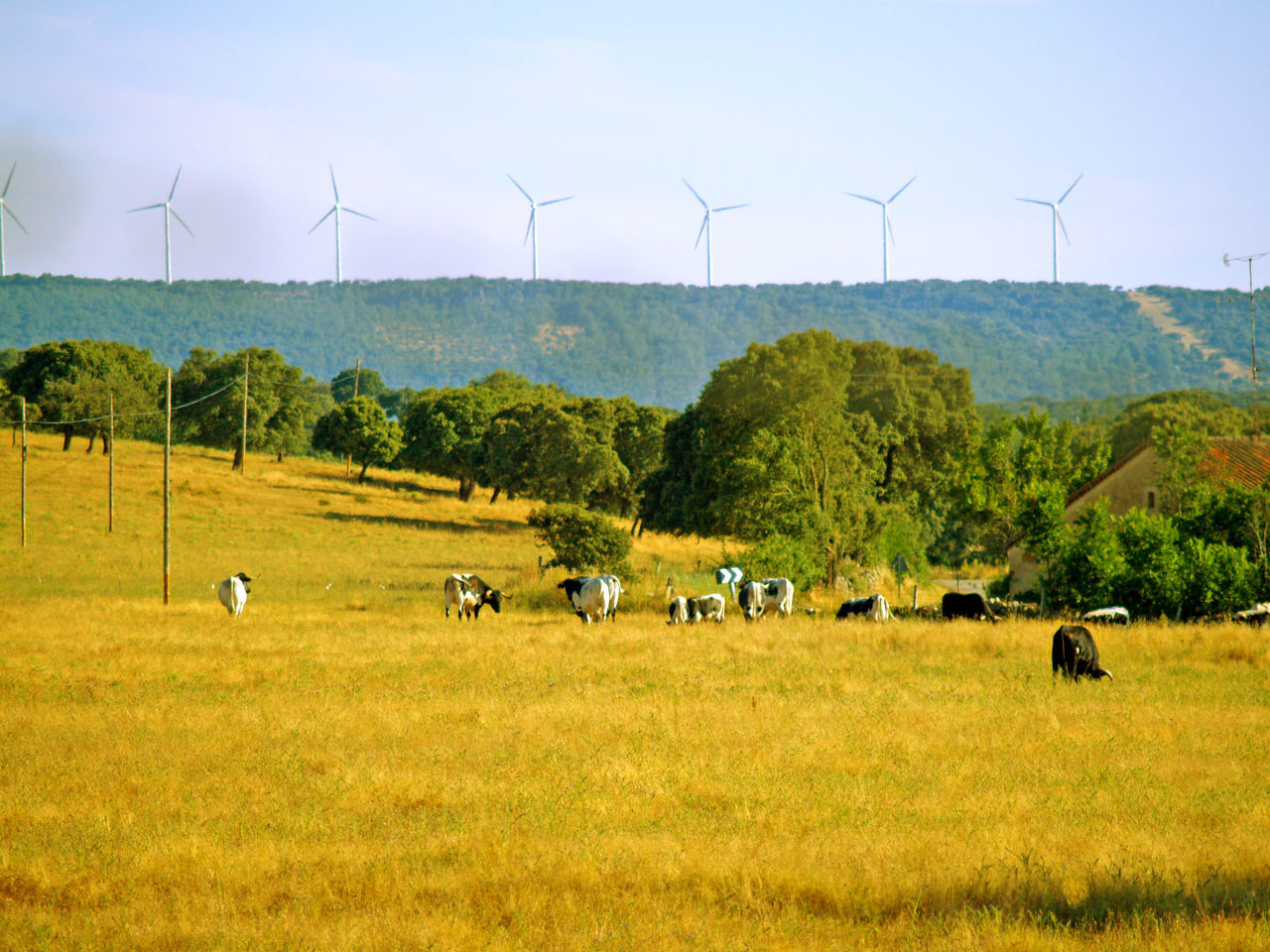Agriculture Alternative Energy Animal Themes Bull Cow Cows Dehesa Environmental Conservation Field Fuel And Power Generation Landscape Large Group Of Animals Mammal Nature Nature No People Renewable Energy Rural Scene Sky Sustainable Resources Tree Wind Power Wind Turbine Windmill