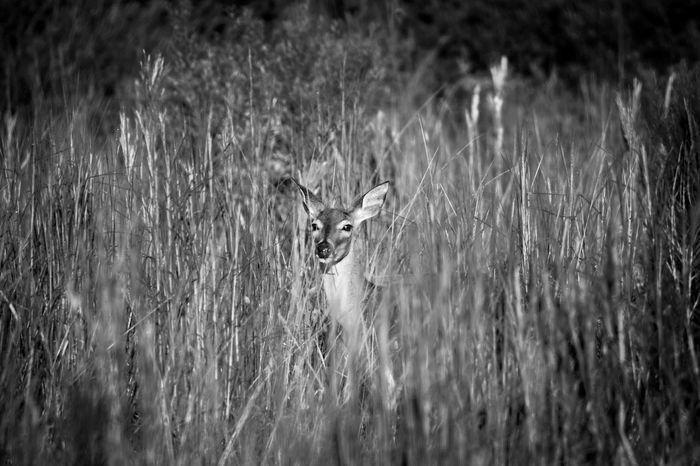 White Tail Deer watching from amid tall grasses in black and white photo. Big Ears Alertness Animal Wildlife Animals In The Wild Black And White Photography Camaflouge Deer Field Florida Hidden Mammal Staring Tall Grass Watching White Tailed Deer
