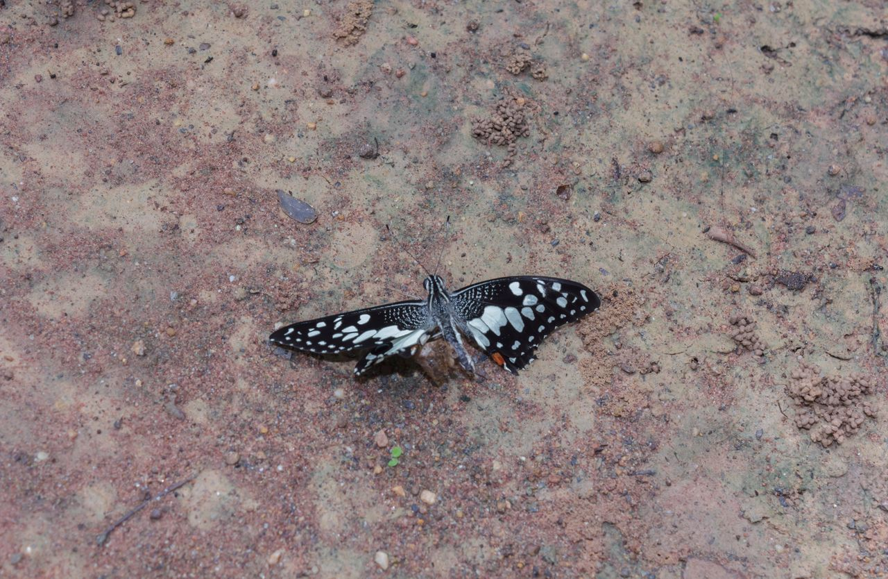 animal themes, animals in the wild, spotted, animal wildlife, animal markings, high angle view, one animal, nature, day, butterfly - insect, outdoors, insect, no people, butterfly, full length, close-up
