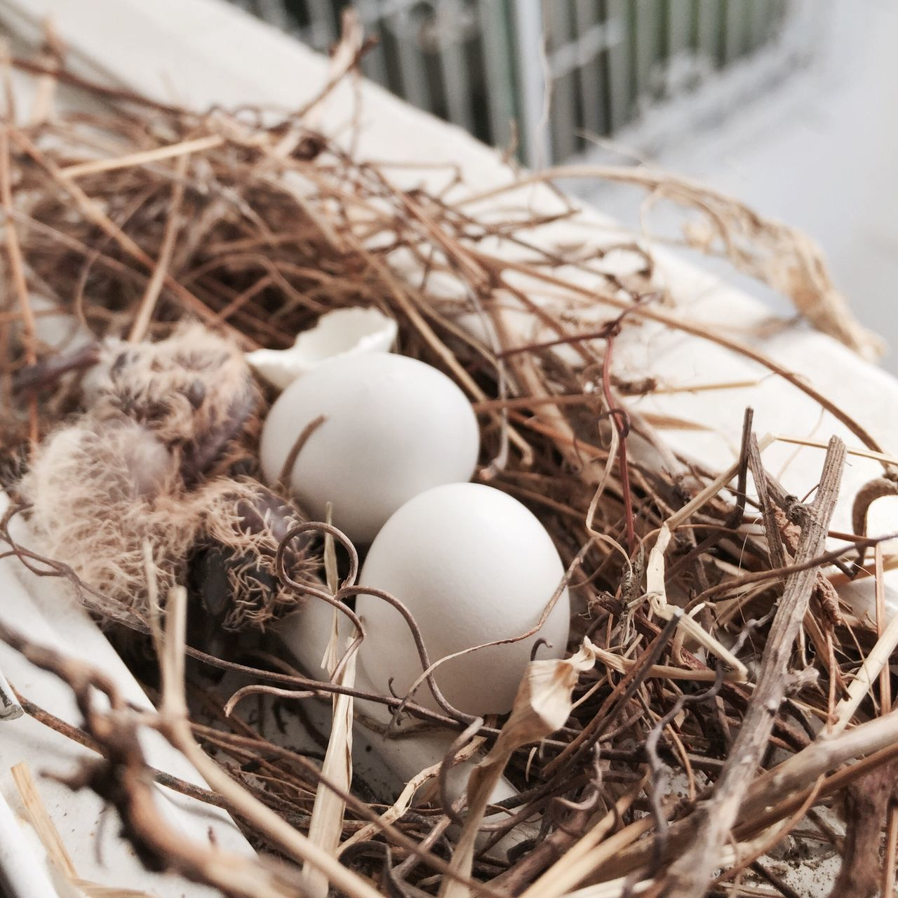 Zebra Dove Bird Egg Bird Nest Nature New Born