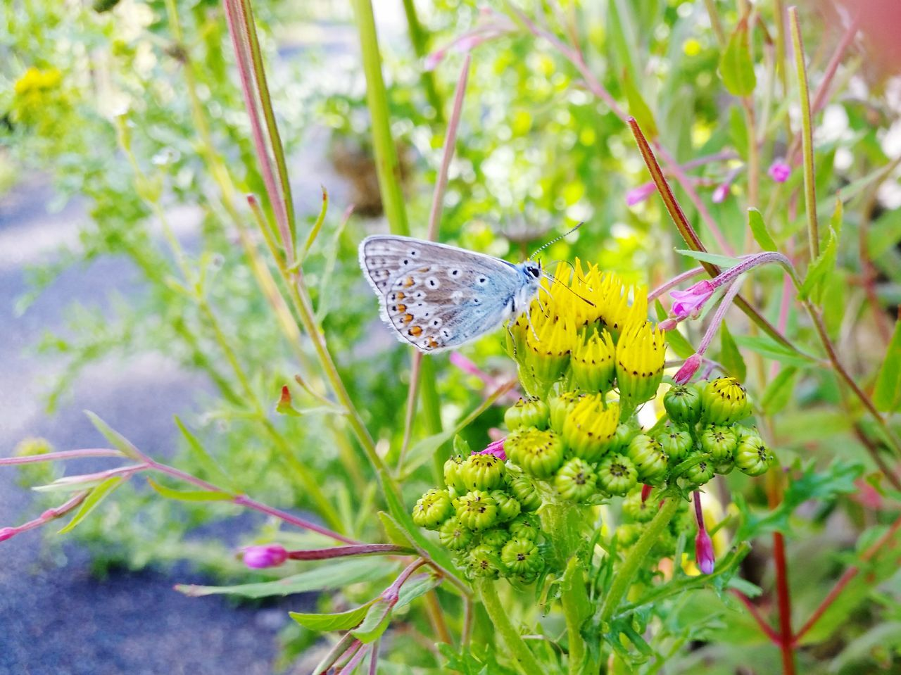 Butterfly Blue Butterfly Yellow Flower Insect Flying Insect Nature Common Blue Butterfly Common Blue Microworld Blue Sunlit Beauty Patterns In Nature Beauty In Nature No People Outdoors Day
