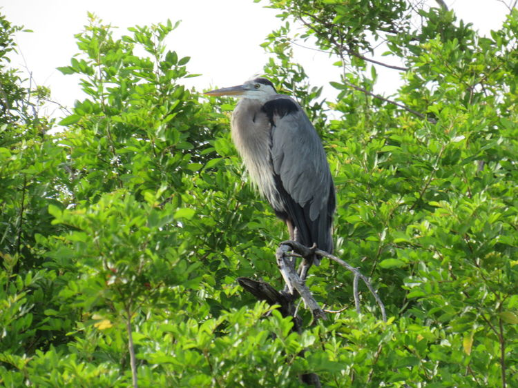The Blue Heron Blue Heron Bird Daytime Green Trees And Leaves Grey White Black Colors Gulf Coast Bird Outdoors Perched On A Branch Resting Place Wild Bird Showcase July