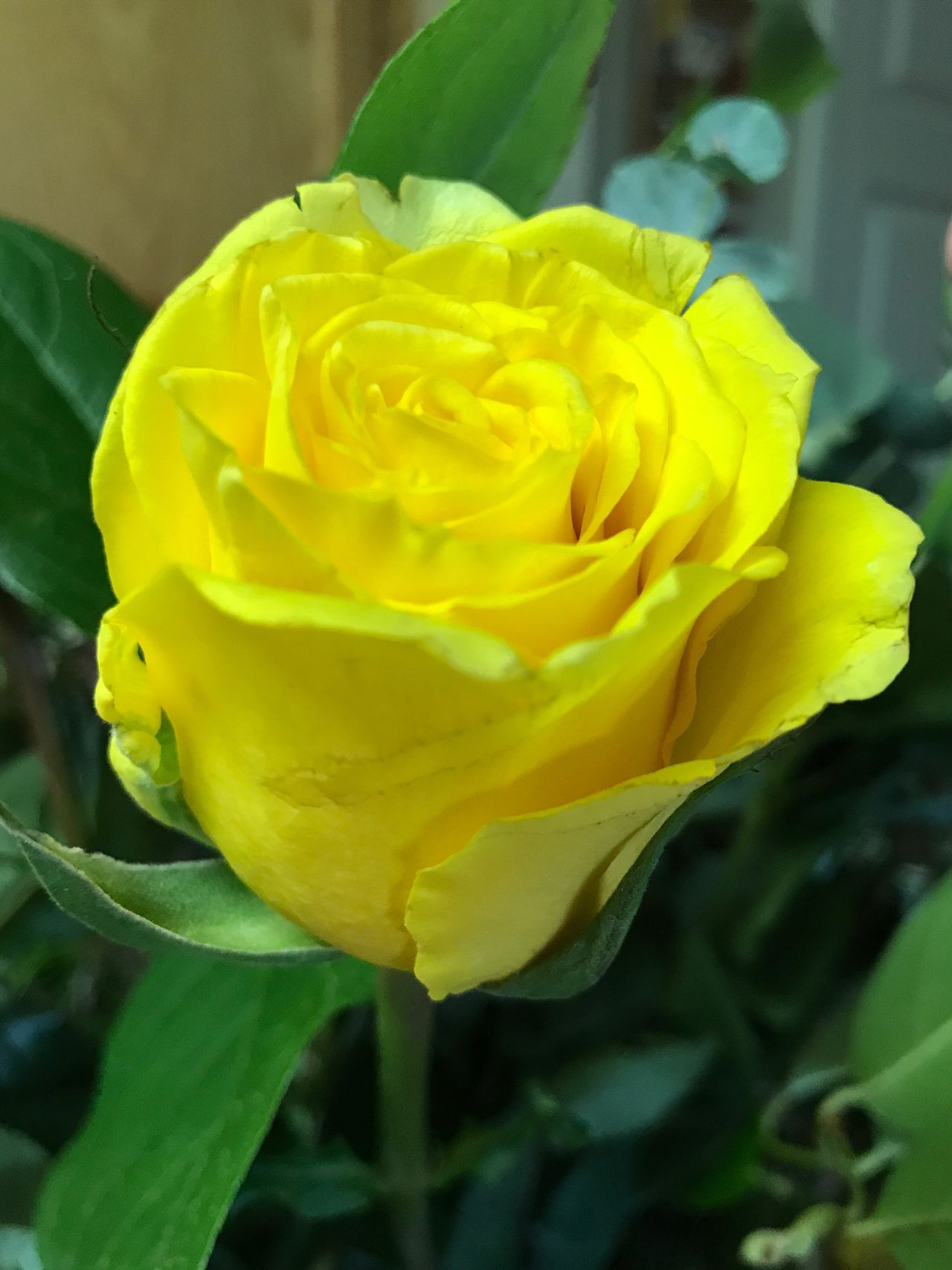Flower Petal Fragility Yellow Flower Head Nature Freshness Rose - Flower Beauty In Nature Close-up Growth Plant No People Springtime Leaf Blooming Rose Bud Yellow Rose