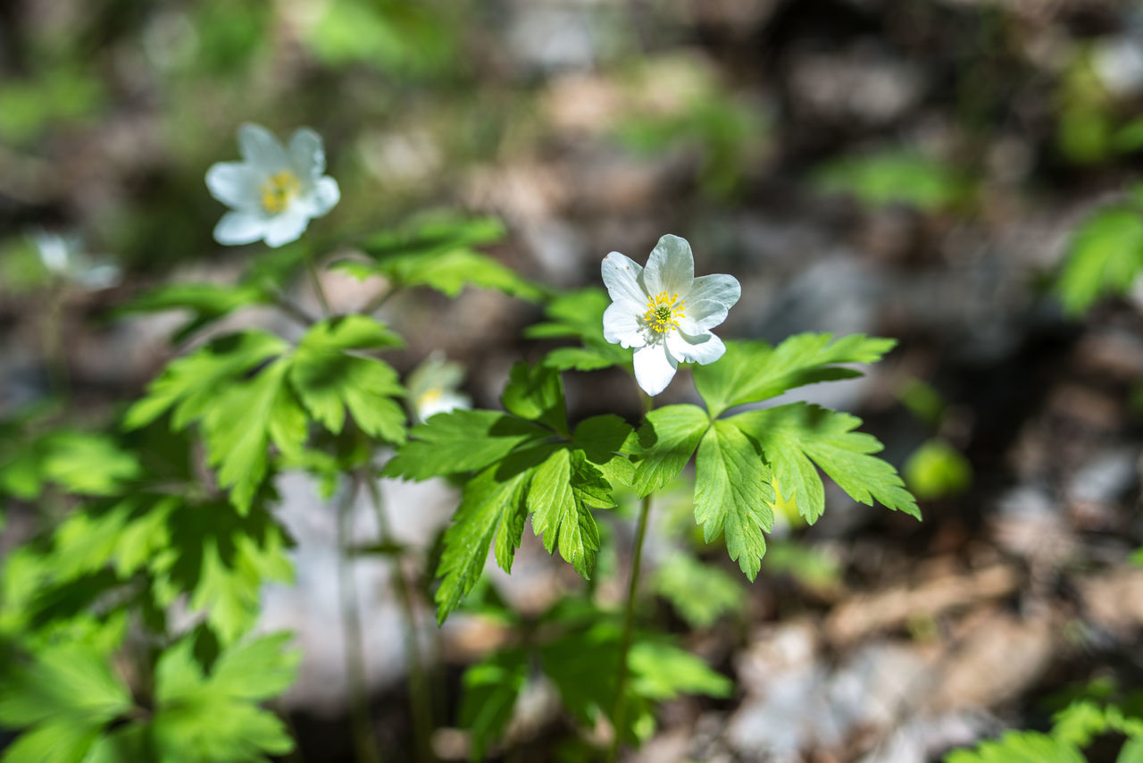 Anémone nemorósa https://en.wikipedia.org/wiki/Anemone_nemorosa Anemone Nemorosa Beauty In Nature Blooming Close-up Day Flower Flower Head Focus On Foreground Forest Fragility Freshness Green Color Growth Nature No People Outdoors Petal Plant Springtime White Color Wood Anemone Woods