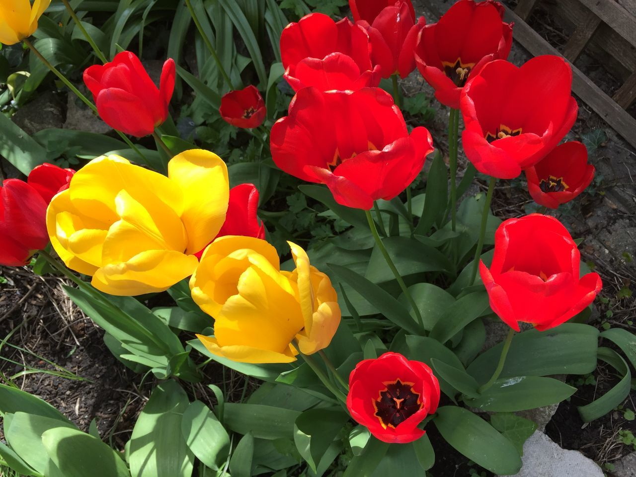Wild tulips Beauty In Nature Blooming Blossom Flowers Garden Nature Nature Petal Plant Tulips