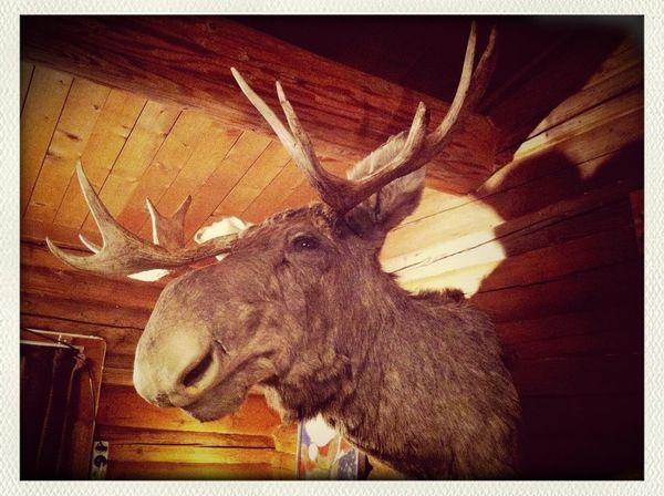 Arne The Moose