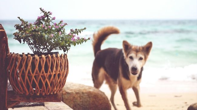 "Dog on the Beach with EyeEm Best Shots , this island was located in Rayong, THAILAND called ""Koh Man Klang"" Eye4photography"
