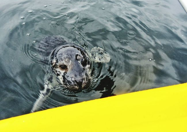 Baby seal encounter while kayaking in the Straits of Juan De Fuca. Harbor Seals Baby Seal Wildlife Simple Beauty Beautiful Beauty In Nature Travel Check This Out Mindfulness Travel Photography Sealife Kayaking In Nature Animal Photography Animals In The Wild Boating Things I Like