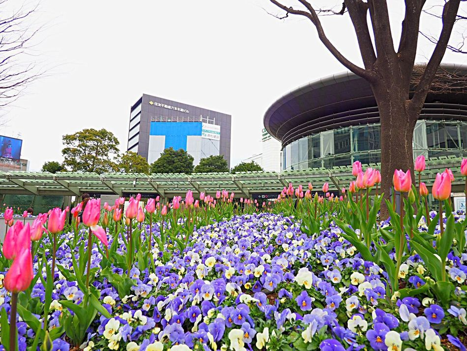 Flower Fragility Nature Beauty In Nature Growth Plant Pink Color Blossom Springtime Freshness Outdoors Tulip Purple チューリップ Blooming Pansy パンジー Roppongi Roppongihills 六本木ヒルズ Japanese Landscape Japan Photography Tokyo,Japan Low Angle View Olympus Om-d E-m10