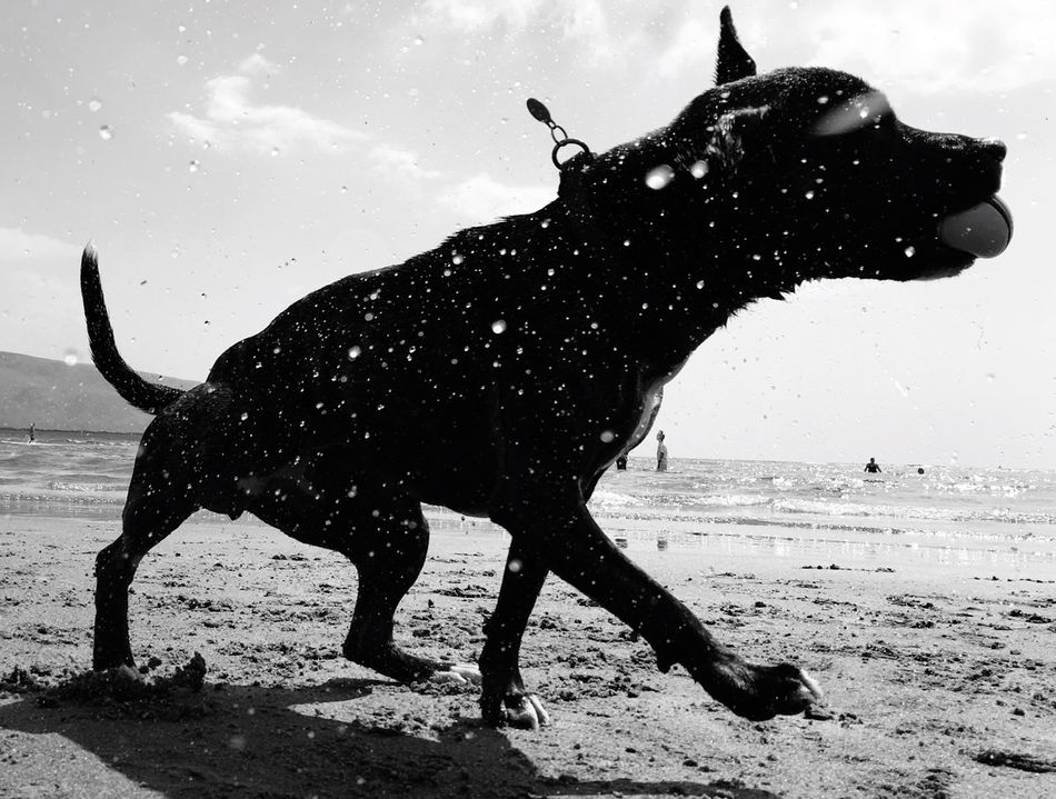The Great Outdoors - 2016 EyeEm Awards Dog Water Beach Harlech Wales Shake Joy Play Freedom Staffordshire Bull Terrier Staffy Staffie Fetch Monochrome Photograhy Monochrome Photography Black And White Black & White Blackandwhite Black And White Photography Blackandwhitephotography Black And White Collection