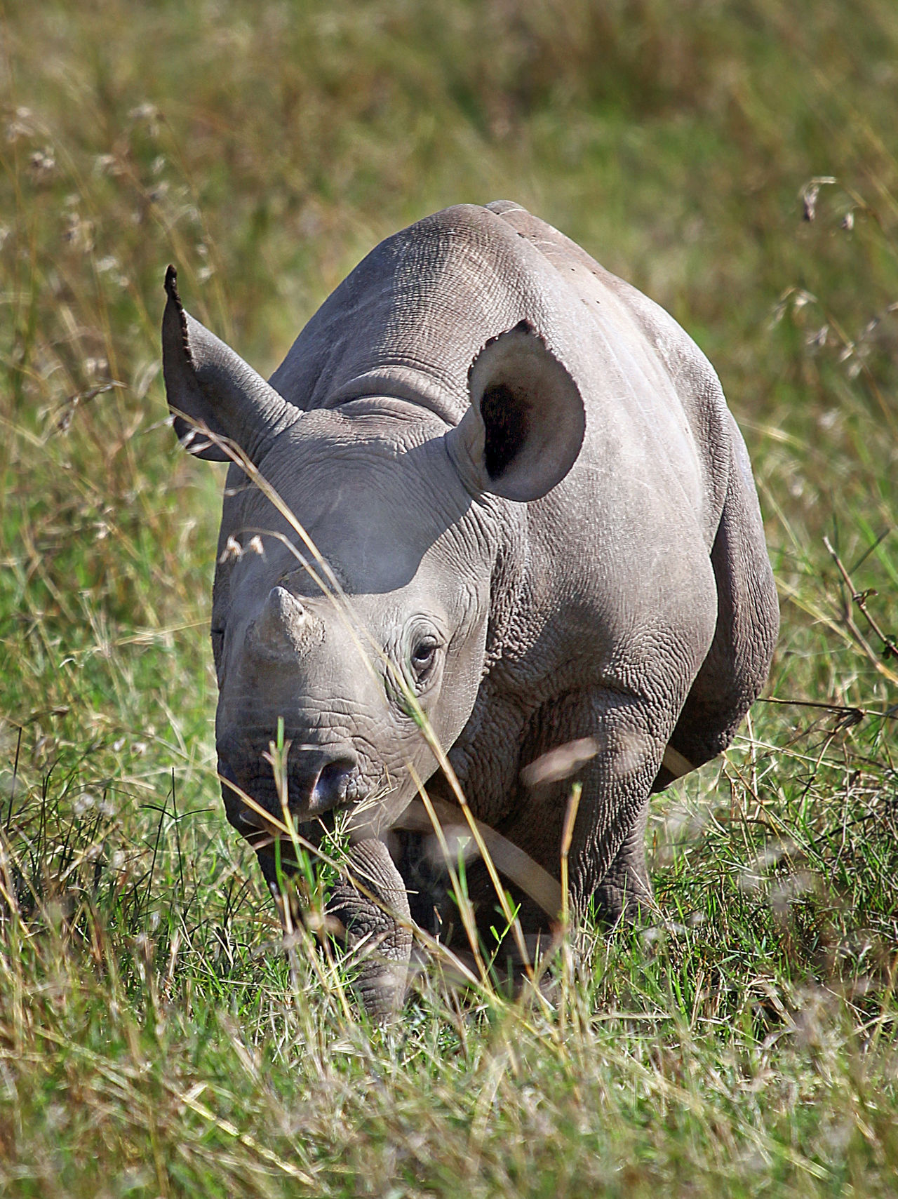 Black Rhino Calf on the plains in the Msai Mara, Kenya Animal Themes Animal Wildlife Animals In The Wild Baby Black Rhino Black Rhinoceros Calf Close-up Grass Kenya Mammal Masai Mara National Park Nature No People One Animal Outdoors White Rhino